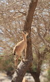 在一棵树的一只Nubian高地山羊在Ein Gedi绿洲 库存图片