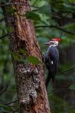 在一棵树的一只Pileated啄木鸟在森林 免版税库存图片