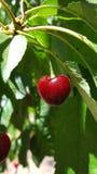 在一棵树的一棵唯一红色成熟樱桃在果树园 库存照片