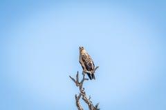 在一棵树的一点被察觉的老鹰在克留格尔国家公园 库存图片
