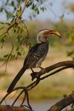 在一棵树的一群南部的黄色开帐单的犀鸟在克留格尔国家公园,南非 免版税库存照片