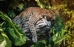 在一棵树的一头睡觉豹子在绿色热带森林里在一个晴天 水平的框架 免版税库存图片