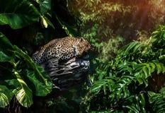 在一棵树的一头睡觉豹子在绿色热带森林里在一个晴天 免版税库存图片