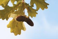 在一棵树的两橡子在橡木之间叶子  免版税图库摄影