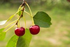 在一棵树的两红色樱桃在庭院里 库存图片