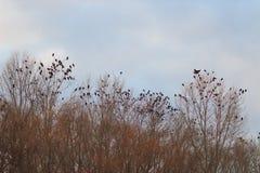 在一棵树的乌鸦在秋天晚上时间 库存照片
