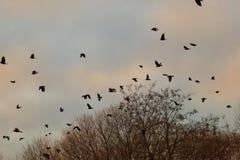 在一棵树的乌鸦在秋天晚上时间 库存图片