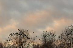 在一棵树的乌鸦在秋天晚上时间 免版税库存图片