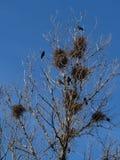 在一棵树的乌鸦巢在城市 图库摄影
