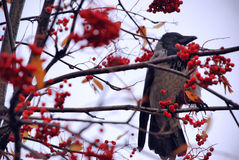 在一棵树的乌鸦鸟用果子 库存图片