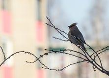 在一棵树的分支的一只孤独的鸟在城市在太阳黎明 库存照片