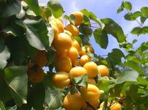 在一棵树的分支的大杏子在庭院里 免版税库存图片