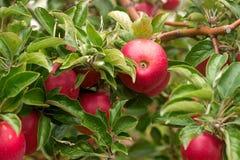 在一棵树的分支的成熟苹果在庭院里 选择聚焦 免版税图库摄影