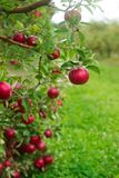在一棵树的分支的成熟苹果在庭院里 选择聚焦 免版税库存照片
