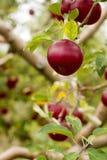 在一棵树的分支的成熟苹果在庭院里 选择聚焦 免版税库存图片