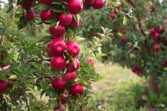 在一棵树的分支的成熟苹果在庭院里 库存照片