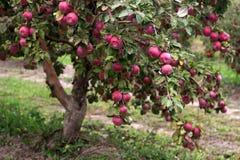 在一棵树的分支的成熟苹果在庭院里 库存图片