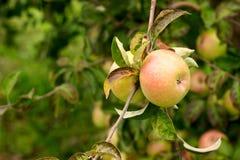 在一棵树的分支的成熟苹果在庭院里 免版税库存图片