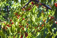 在一棵树的叶子的下很多红色,成熟樱桃在庭院里 从疾病和损伤清洗由昆虫 库存图片