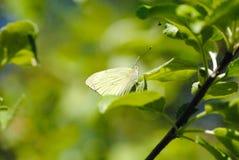 在一棵树的叶子的蝴蝶在春天 免版税库存照片