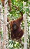在一棵树的大公猩猩在狂放 印度尼西亚 加里曼丹婆罗洲海岛  免版税库存图片
