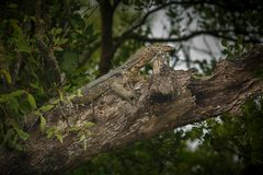 在一棵树的大监控蜥蜴在苏达班在印度 库存图片