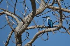 在一棵树的好和五颜六色的kingfischer在komodo海岛附近 库存照片