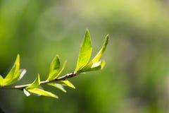 在一棵树的小叶子在春天 宏指令 免版税图库摄影