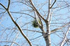 在一棵树的巢在天空下 库存图片