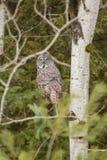在一棵树的巨大灰色猫头鹰在冬天 库存照片