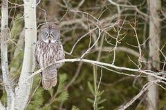 在一棵树的巨大灰色猫头鹰在冬天 库存图片