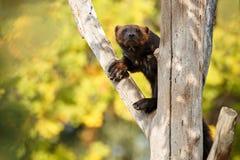 在一棵树的庄严密歇根本地人吊在五颜六色的背景前面 图库摄影