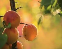 在一棵树的成熟杏子在庭院里 免版税图库摄影