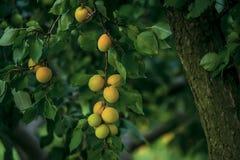 在一棵树的成熟杏子在庭院里 免版税库存图片