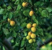 在一棵树的成熟杏子在庭院里 库存图片