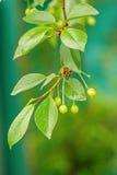 在一棵树的成熟的樱桃在农场的庭院里 免版税图库摄影