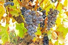 在一棵树的成熟蓝色葡萄在葡萄牙 免版税库存照片