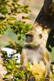 在一棵树的扮演黑人猴子在印度 免版税库存图片