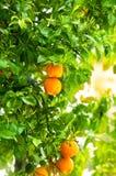 新鲜的成熟桔子 免版税库存图片