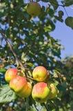 在一棵树的新鲜的红色和黄色苹果在庭院里 库存图片