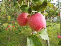 在一棵树的新鲜的红色苹果在庭院里 库存照片