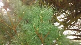 在一棵树的杉木针与小杉木锥体 免版税库存图片