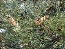 在一棵树的杉木锥体在雪 库存图片