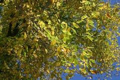 在一棵树的染黄的叶子在夏天结束时 库存图片