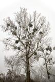 在一棵树的槲寄生在冬天 免版税库存照片