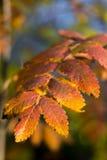 在一棵树的橙色叶子在秋天 免版税库存图片