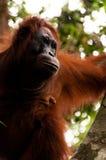 在一棵树的渔郎Utan女性开会在婆罗洲印度尼西亚 库存照片