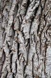 在一棵树的灰色吠声与镇压 图库摄影