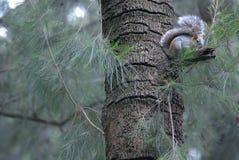 在一棵树的灰鼠在森林墨西哥里 免版税库存图片