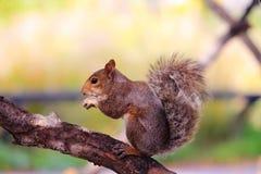 在一棵树的灰鼠在芝加哥 免版税库存图片